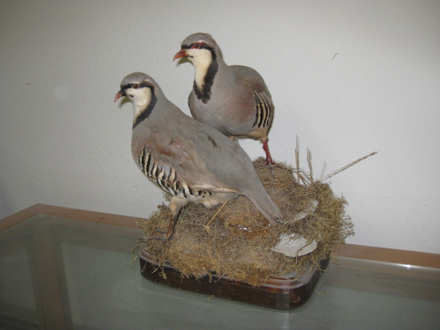 Male And Female Chucker Alaska Wilderness Arts And Taxidermy